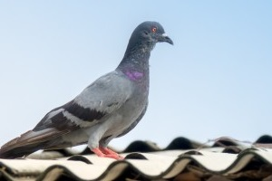 Pigeon Control, Pest Control in North Cheam, Stonecot Hill, SM3. Call Now 020 8166 9746