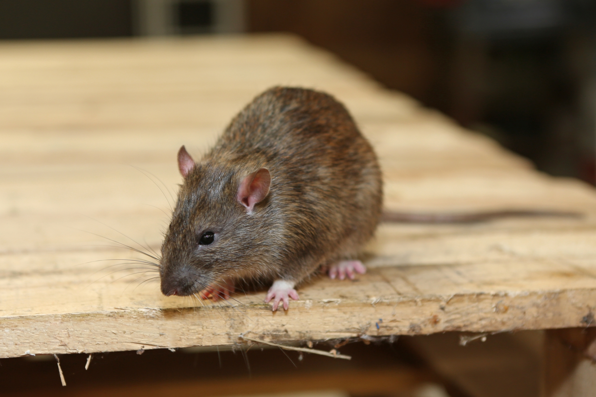 Rat Infestation, Pest Control in North Cheam, Stonecot Hill, SM3. Call Now 020 8166 9746