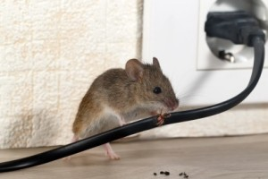 Mice Control, Pest Control in North Cheam, Stonecot Hill, SM3. Call Now 020 8166 9746